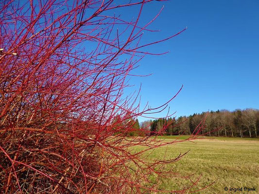 Cornus sanguinea - Blutroter Hartriegel