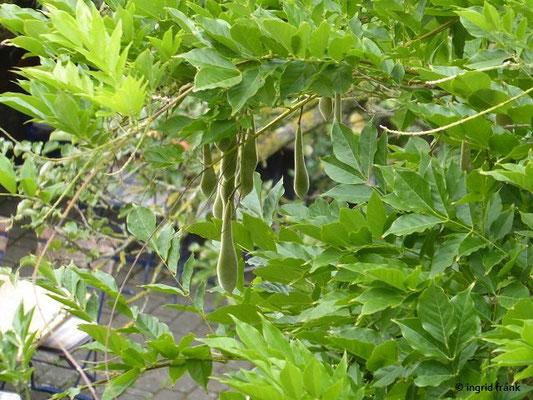 Wisteria sinensis - Chinesischer Blauregen