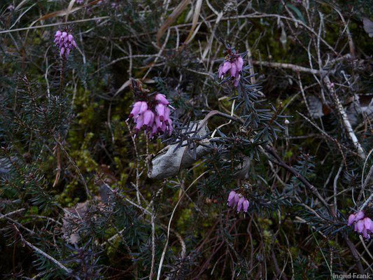 Erica carnea - Schnee-Heide (Osttirol)