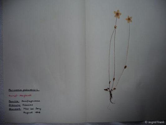 (17) Parnassia palustris - Sumpf-Herzblatt