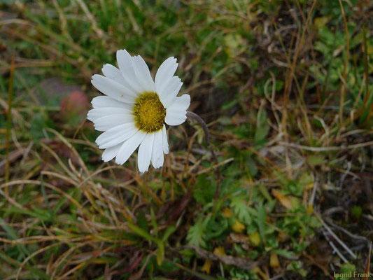 Leucanthmopsis alpina - Alpen-Margerite