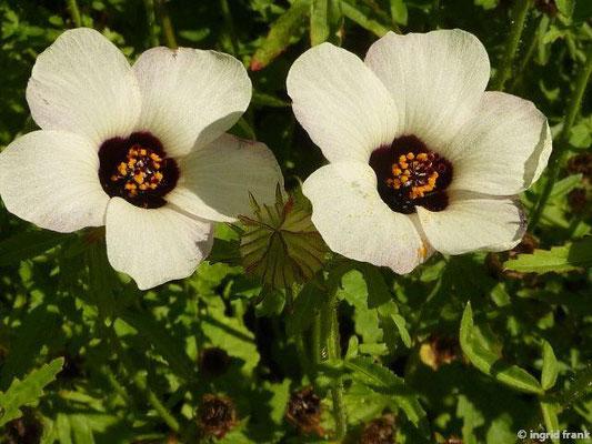 Hibiscus trionum - Gelbe Stundenblume, Stundeneibisch