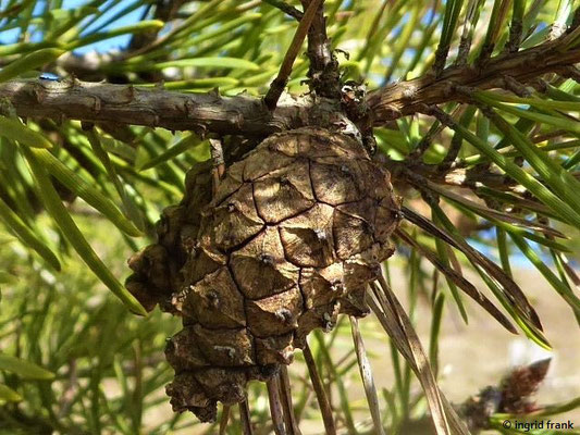 Pinus sylvestris / Gewöhnliche Kiefer, Föhre
