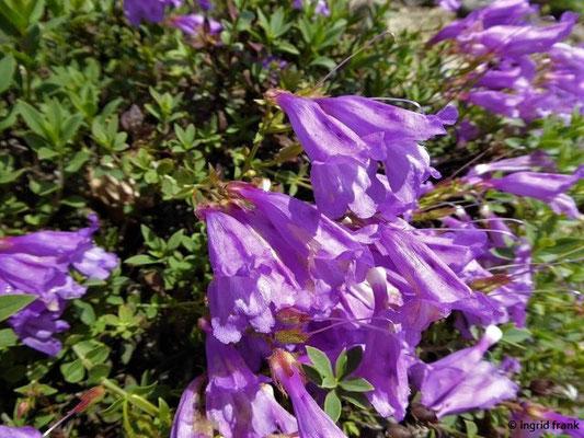 Penstemon davidsonii ssp. praeteritus