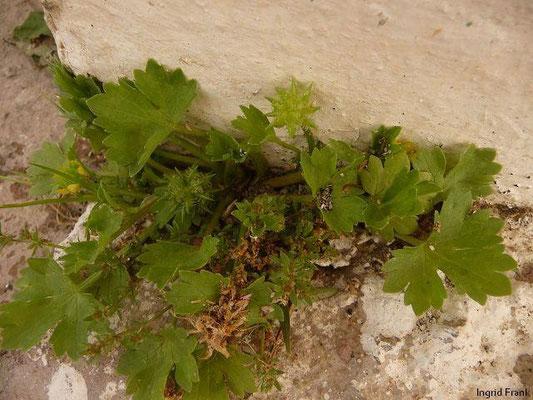 06.04.2013-Ranunculus muricatus