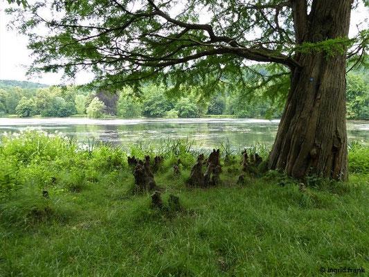 Im Greizer Schlosspark: Taxodium distichum - Zweizeilige Sumpfzypresse