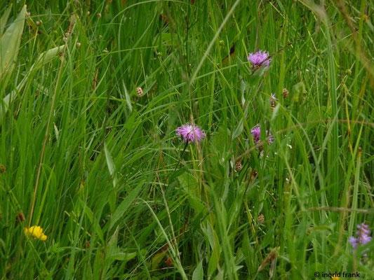 Centaurea jacea / Gewöhnliche Wiesen-Flockenblume