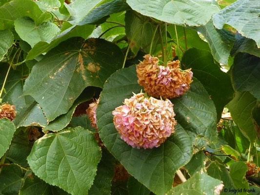 Dombeya wallichii - Hortensienbaum