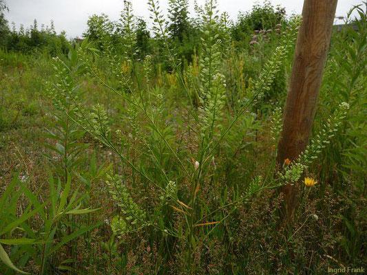Lepidium virginicum - Virginische Kresse