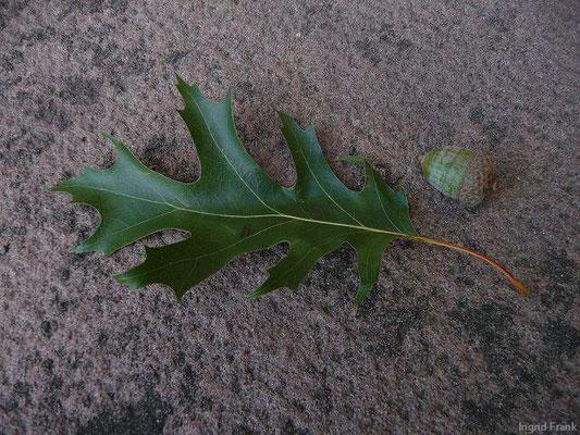 Quercus palustris - Sumpf-Eiche