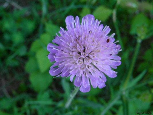 Knautia arvensis - Acker-Witwenblume    VII-VIII