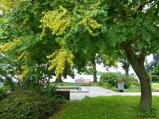 Koelreuteria paniculata - Rispen-Blasenbaum
