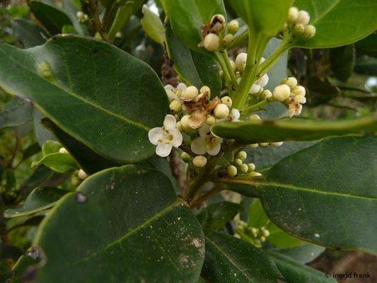Ilex canariensis - Kanaren-Stechpalme (La Gomera)