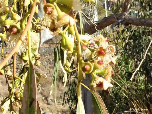 Eucalyptus camadulensis - Camaldoli-Eukalyptus (Gran Canaria)