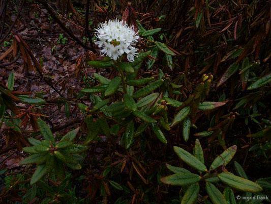 Rhododendron tomentosum - Sumpf-Porst