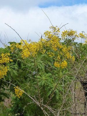 Sonchus canariensis - Kanaren-Gänsedistel    II-V