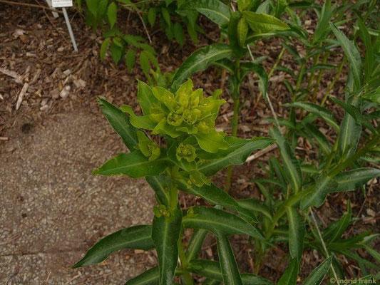 Euphorbia lucida - Glanz-Wolfsmilch