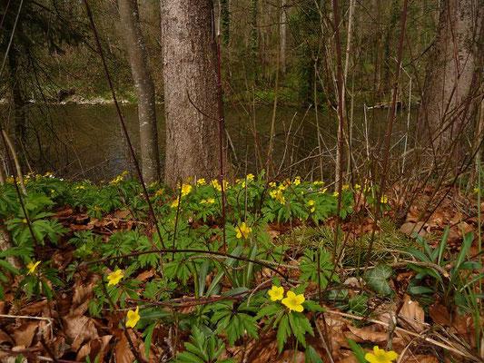 Anemone ranunculoides / Gelbes Windröschen