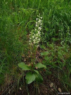 Platanthera bifolia - Zweiblättrige Waldhyazinthe