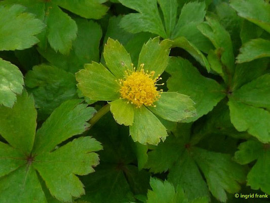 Hacquetia epipactis - Schaftdolde (Botanischer Garten Adorf im Vogtland)