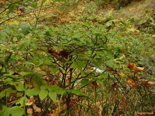 Vaccinium myrtillus - Heidelbeere