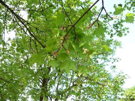 Acer campestre - Feld-Ahorn  (V-VI)