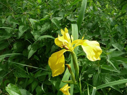Iris pseudacorus / Wasser-Schwertlilie