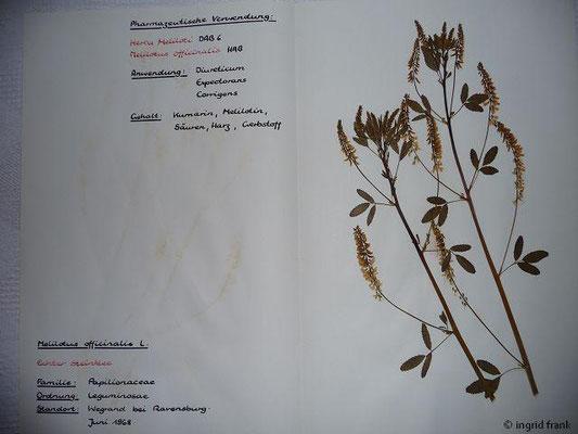 (34) Melilotus officinalis - Echter Steinklee