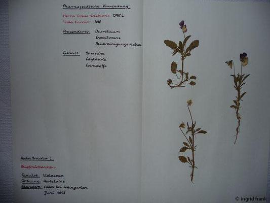 Viola tricolor / Wildes Stiefmütterchen    IV-IX