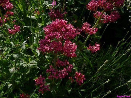 Rote Spornblume / Centranthus ruber