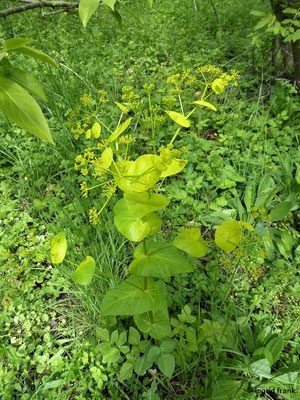 Smyrnium perfoliatum - Stängelumfassende Gelbdolde (Botanischer Garten Universität Würzburg)