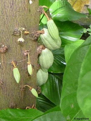 Theobroma cacao - Kakaobaum