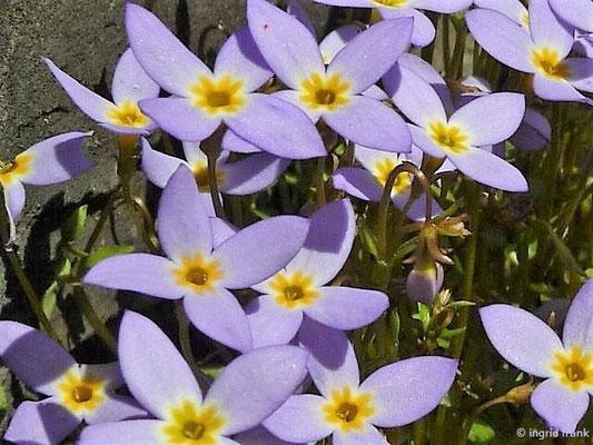 Houstonia caerulea - Porzellansternchen