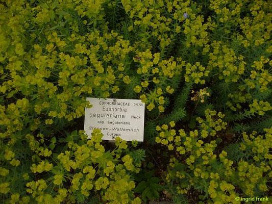 Euphorbia segueriana ssp. segueriana / Steppen-Wolfsmilch (Botanischer Garten Universität Heidelberg)