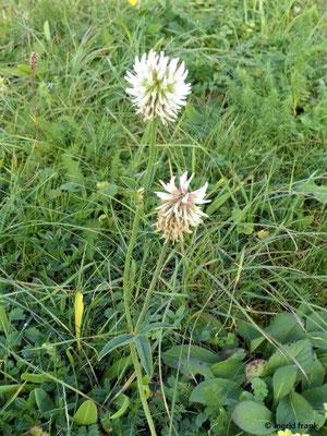 Trifolium montanum - Berg-Klee