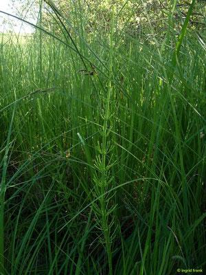 Equisetum fluviatile / Schlamm-Schachtelhalm