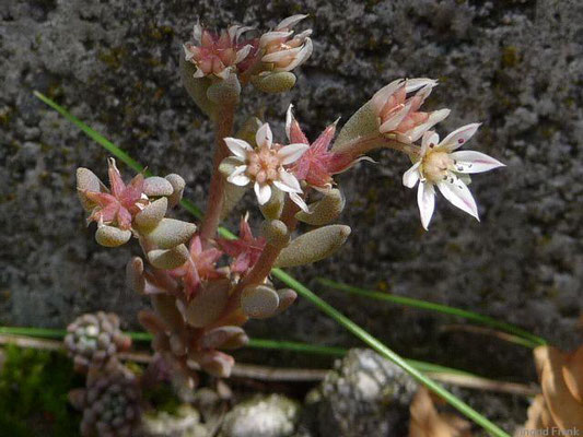Sedum hispanicum / Spanische Fetthenne    VI-VII