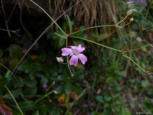 Gypsophila repens - Kriechendes Gipskraut