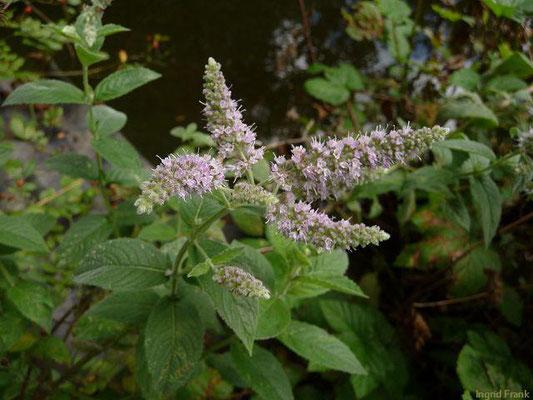 Mentha longifolia / Ross-Minze    VII-IX