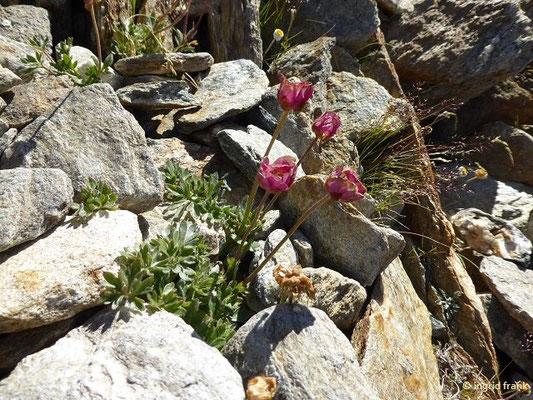Ranunculus glacialis / Gletscher-Hahnenfuß    VII-VIII