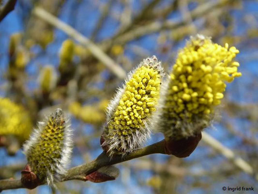 Salix caprea / Sal-Weide