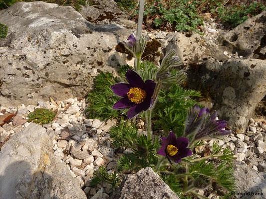 Pulsatilla vulgaris ssp. vulgaris