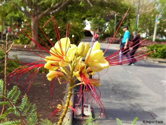 Caesalpinia gilliesii - Paradiesvogelstrauch