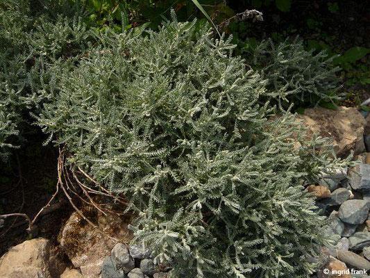 Santolina chamaecyparissus - Graues Heiligenkraut    V-VIII