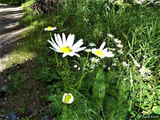 Tripleurospermum inodorum / Geruchlose Kamille, Falsche Strandkamille