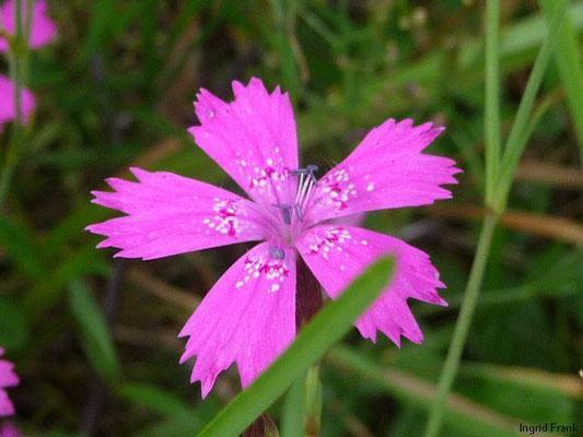 Dianthus deltoides / Heide-Nelke    VI-IX