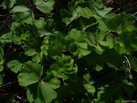 24.04.2010-Aquilegia vulgaris - Gewöhnliche Akelei