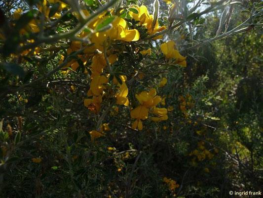 Calicotome vilosa - Behaarter Dornginster
