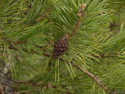 Pinus sylvestris / Gewöhnliche Kiefer