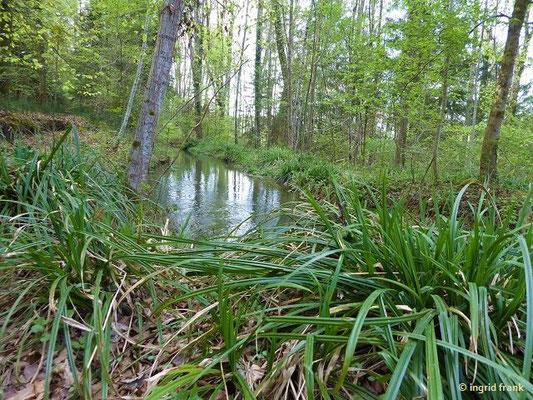 Carex pendula - Hänge-Segge (am hinteren Kanal)